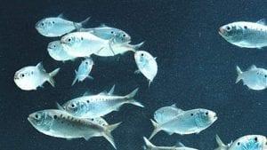 Institute Spearheads Effort to Protect Atlantic Menhaden